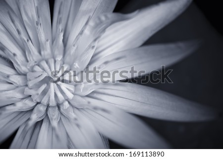 Black and white version of a beautiful Amazon Waterlily - stock photo