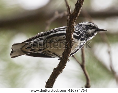 Black-and-white Warbler (Mniotilta varia) perched on a branch - stock photo