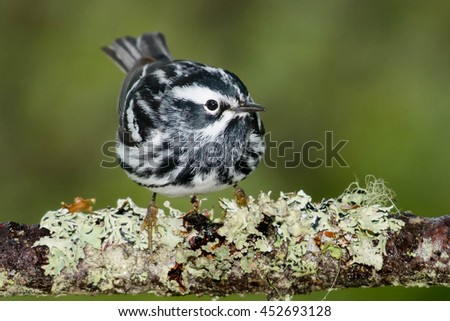 Black-and-white Warbler perched on a branch.
