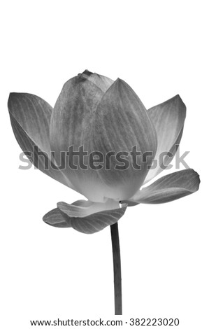 Black and white water lily flower, Lotus flower is a important symbol in Asian culture, Clipping paths - stock photo
