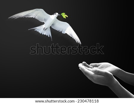 Black and white, white bird have taken branches with green leaves to Noah's hands. Holy Bible, Holy Spirit concept. - stock photo