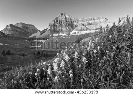 Black and white wildflower meadow in the Wasatch Mountains, Utah, USA. - stock photo