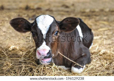 Black and white young dairy cows calf in hay. looking at the camera - stock photo