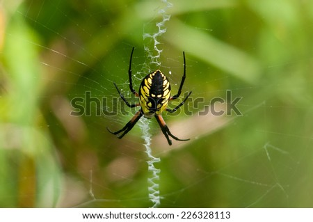 Black and Yellow Agriope Garden Spider
