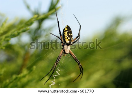 Black and Yellow Argiope Spider Female - stock photo