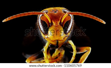 Black and Yellow Asian Wasp in extreme close up, Narrow focus.