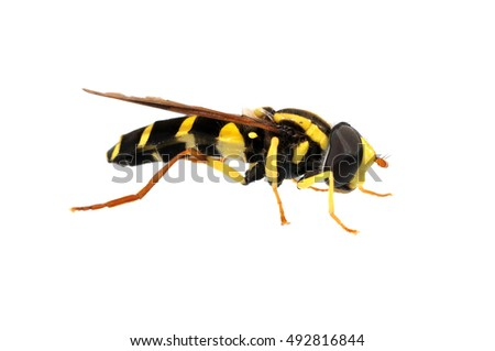 Black and yellow hoverfly isolated on white
