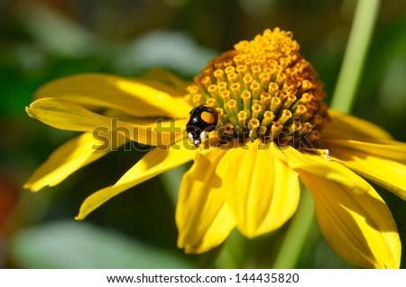 black and yellow ladybug on yellow flower - stock photo