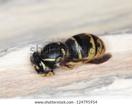 Black and Yellow Wasp Queen Hibernating in a Wood Nest - Overhead Shot