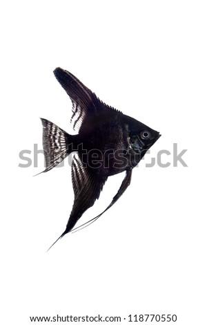 Black angelfish (Pterophyllum scalare) in profile isolated on white background - stock photo