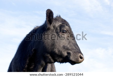Black Angus calf looking right - stock photo