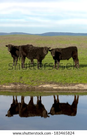 Black Angus cattle, with mirrored reflection in farm pond, California ranch range in background.