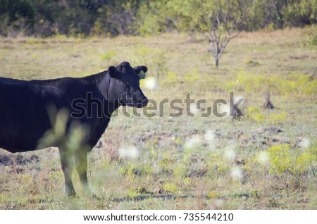 Black Angus cow in rural landscape shows agriculture farm lifestyle.  Cute domestic mammal.