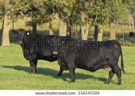 Black Angus Cows - stock photo