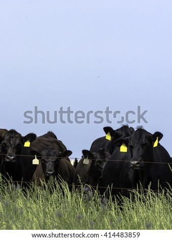 Black Angus Cows Standing Line Behind Stock Photo