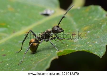 black ant - stock photo