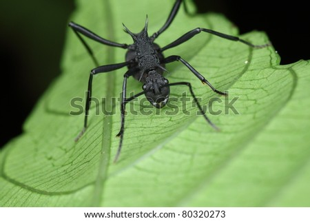 black ant - stock photo