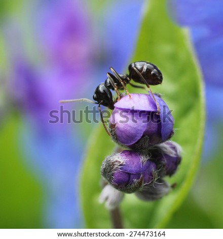 Black ant climbing in colorful spring garden flower bud  - stock photo