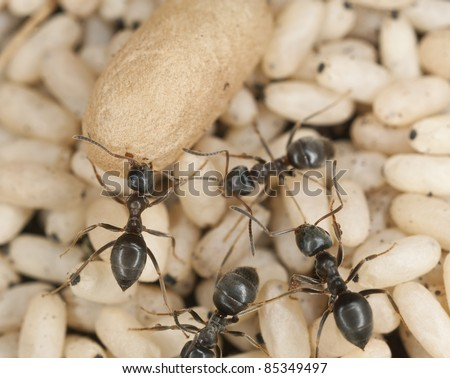 Black ant (Lasius niger) rescuing larva, extreme close up with high magnification - stock photo