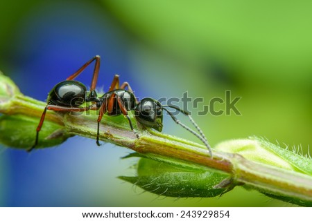 Black Ant resting on branches - stock photo