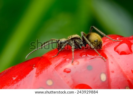 Black Ant resting on red flower - stock photo