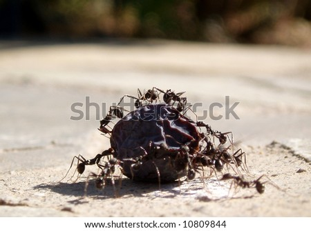Black ants moving an olive - stock photo