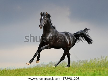 black arab horse runs free in the field