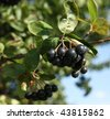 Black ashberry/ Black rowan /Black chokeberry (Aronia melanocarpa) - branches of the tree in the garden - stock photo