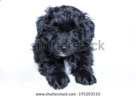 Black Aussie doodle puppy lying down on white background - stock photo