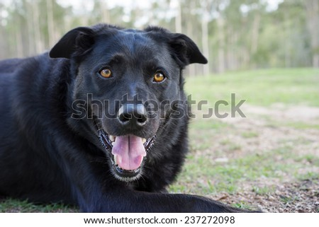 Black Australian Kelpie breed used as working dog on farms - stock photo