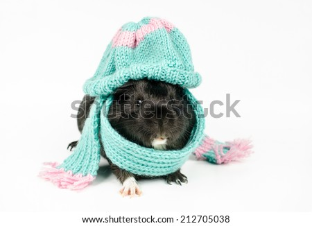 black baby guinea with blue beanie and scarf - stock photo