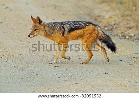 Black backed jackal - stock photo