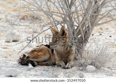 black-backed jackal (Canis mesomelas) lying in Etosha park, Oshana, Namibia, True Wildlife - stock photo