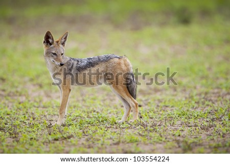 Black-backed Jackal (Canis mesomelas), Mapungubwe National Park, Limpopo Province, South Africa.