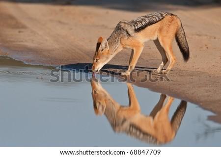 Black-backed Jackal, Kalahari Desert - stock photo