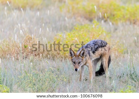 Black backed Jackal n a riverbed in Kgalagadi, South Africa - stock photo