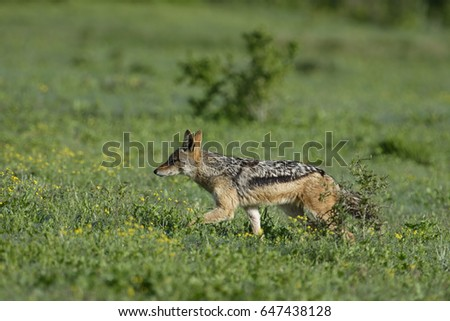 Black Backed Jackal on the hunt, Addo Elephant National Park, Eastern Cape, South Africa