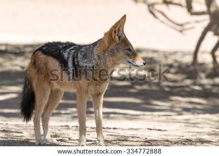 Black backed Jackal. Seen and shot on self drive safari tour through national parks in namibia, africa.
