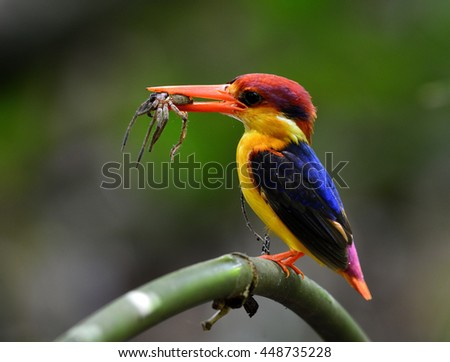 Black-backed Kingfisher (Ceyx Erithaca) a vivid red and orange bird with dark blue on its wings perching on the bamboo branch carrying lizard in the mouth to feed its chicks