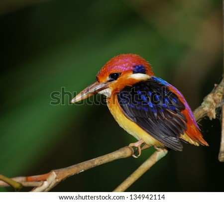 Black-backed Kingfisher, Ceyx erithacus, a little cute and tiny multicolor bird, bird of Thailand, with vivid color