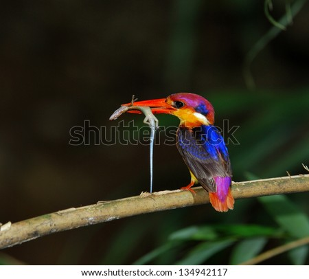 Black-backed Kingfisher, Ceyx erithacus, a little cute and tiny multicolor bird, bird of Thailand, carrying lizard for its chicks