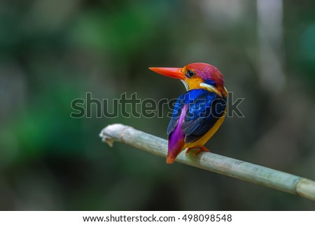Black backed Kingfisher(Ceyx erithacus),beautiful bird on branch, Kaeng kra chan National park,Thailand