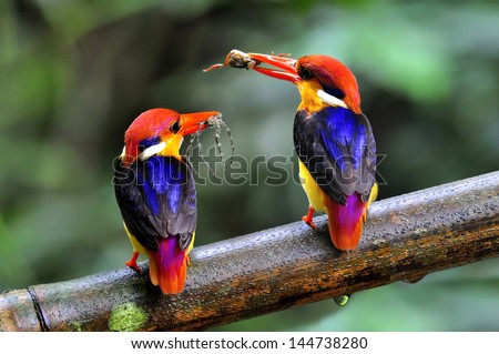 Black-backed Kingfisher, Ceyx erithacus, colorful kingfisher carrying spider and crab meals for their chicks, bird of Thailand