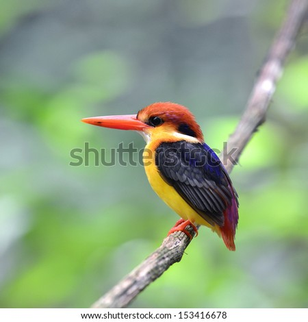 Black-backed Kingfisher (Ceyx erithacus) the most beautiful and multicolor bird