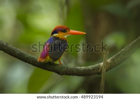 Black-backed kingfisher female close up in the nature.