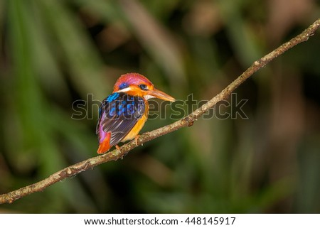 Black-backed kingfisher female in the nature.