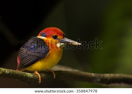 Black-backed kingfisher juvenile in the nature. - stock photo