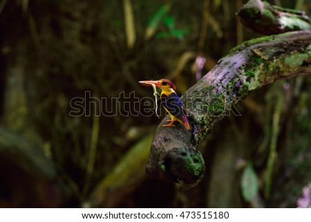 Black-backed Kingfisher/nature Wildlife/Birds nature