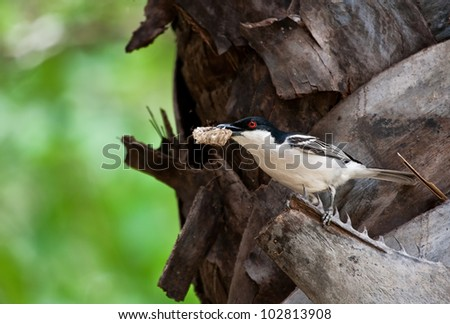 Black-backed puffback with honey comb sitting in a tree