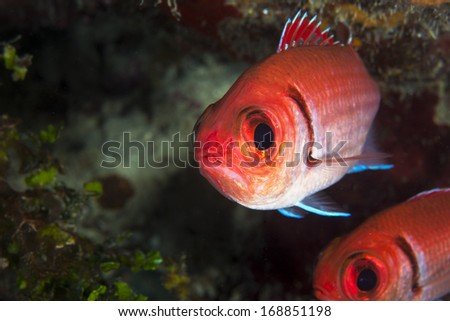 Black bar soldier fish hiding in the reef - stock photo